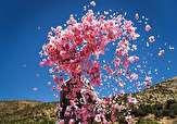باشگاه خبرنگاران - برداشت ۲۸۰ تن گل محمدی از باغ های لرستان پیش بینی می شود