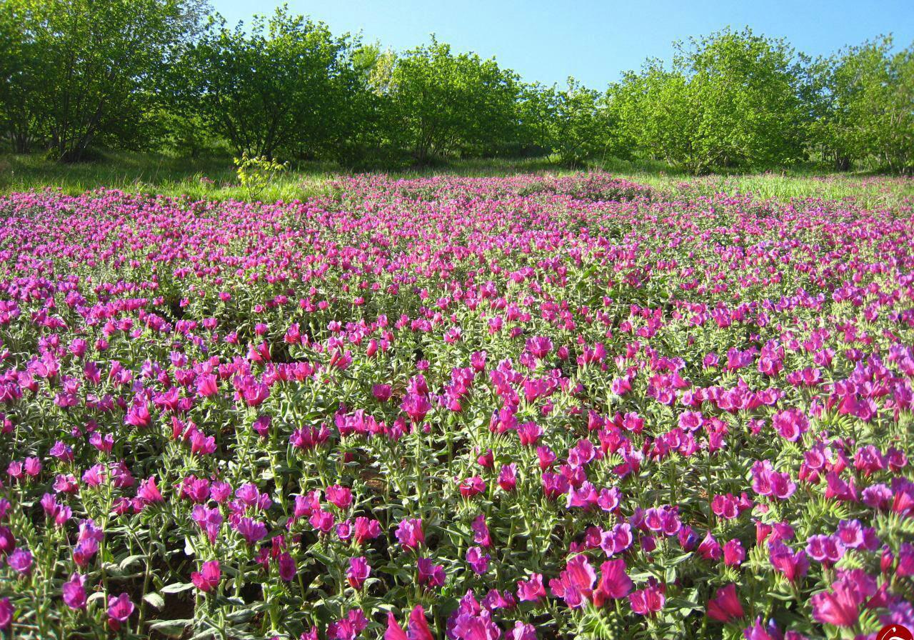 گوشه ای از دشت زیبای گل گاو زبان در «دولتآباد» + فیلم