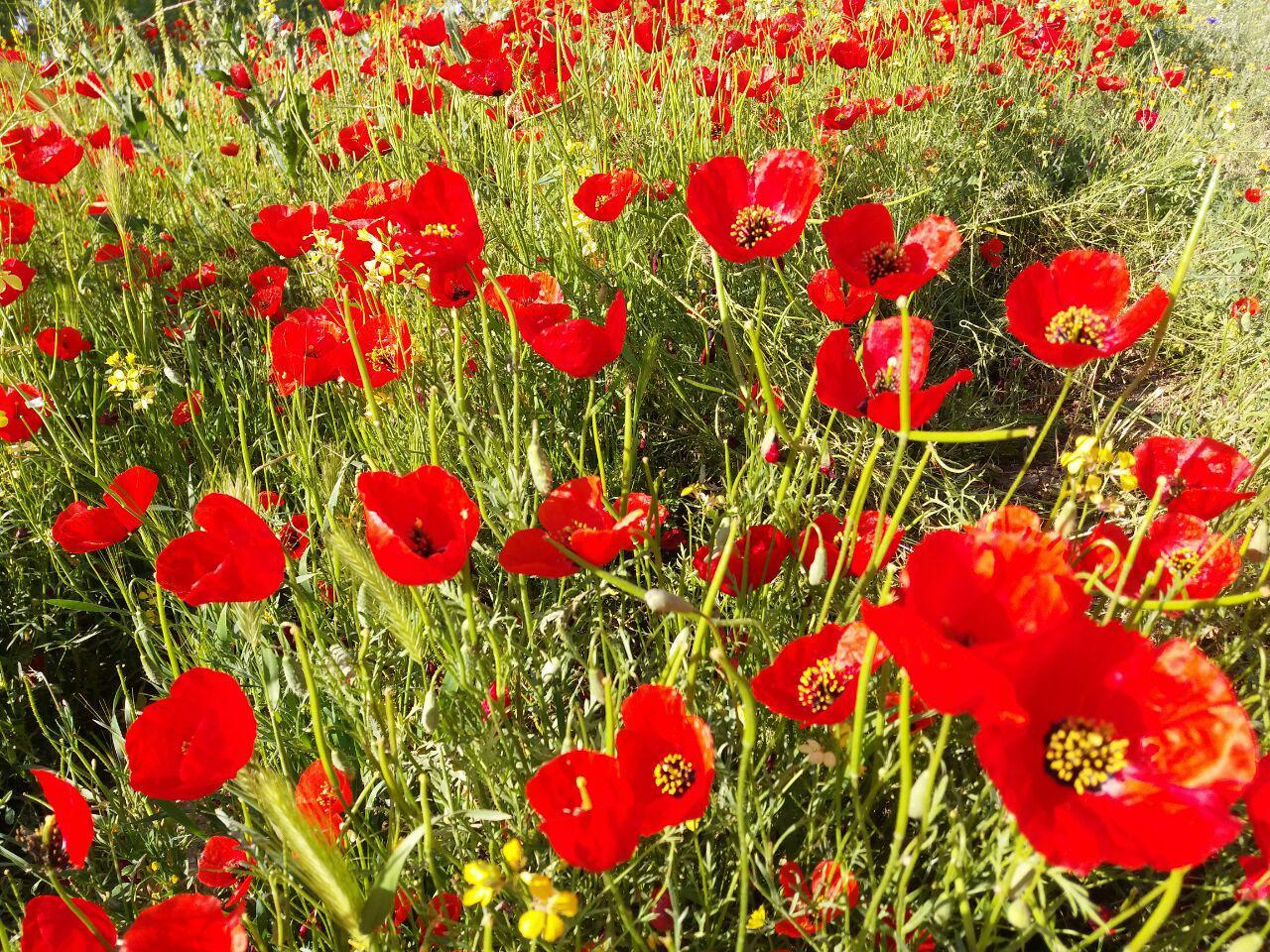 دشت زیبای گلهای شقایق در «صالحآباد» + فیلم