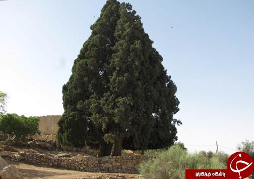 ابلاغ شماره ثبت سرو ۷۰۰ ساله کازرون در فهرست میراث طبیعی کشور + عکس