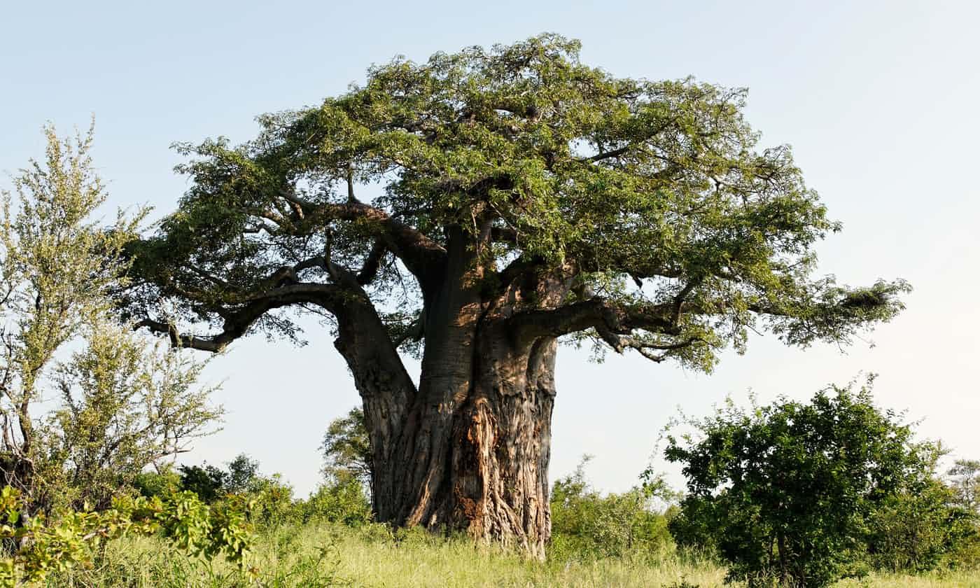خشکیدن ناگهانی درختان ۲۵۰۰ ساله بائوباب