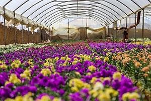 استان مرکزی با تولید ۱۴۵ میلیون گل فصلی و نشایی رتبه اول کشور