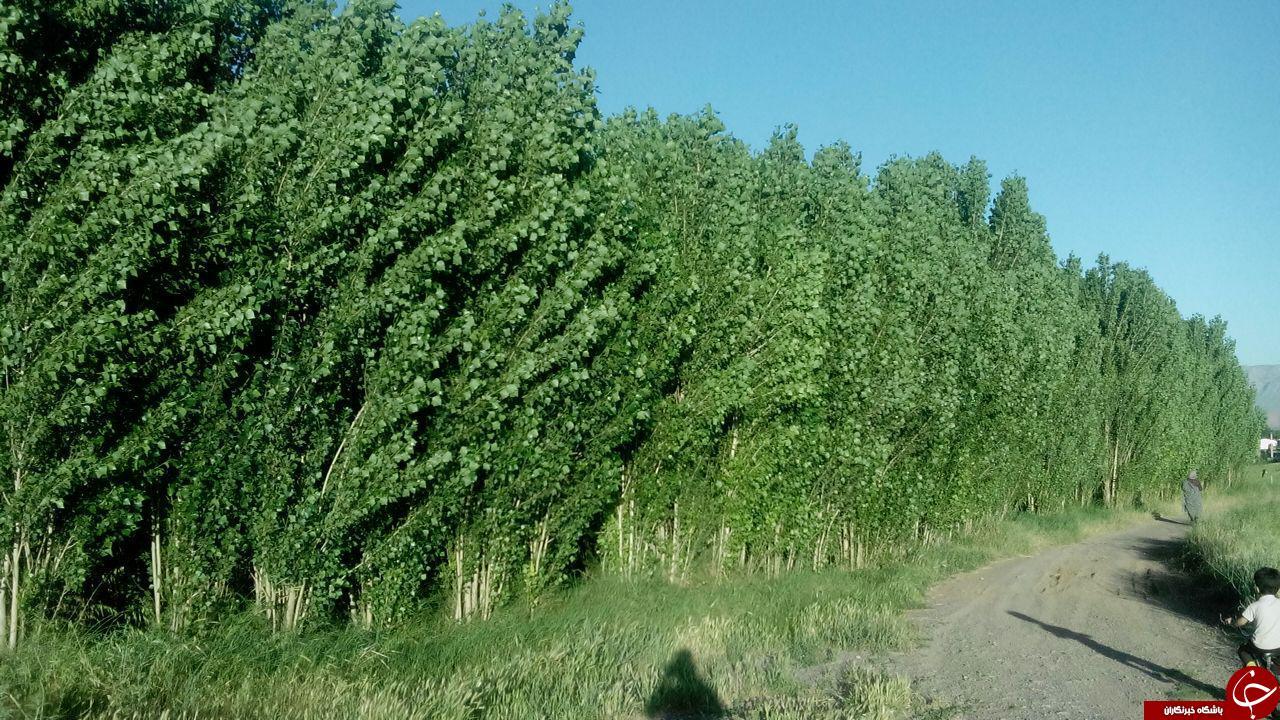درختان زیبا و سرسبز صنوبر در «اصلانشاه» + تصاویر