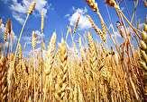 باشگاه خبرنگاران -افزایش 30 درصدی تولید گندم در آذربایجان غربی