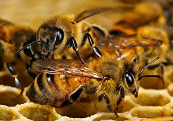 باشگاه خبرنگاران -چرا صادرات عسل ايرانى به كما رفت؟/ فروش عسلهاى تقلبى با برند خارجى!