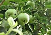 باشگاه خبرنگاران -اعلام زمان مبارزه با نسل اول کرم سیب در مهاباد