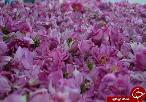 کشت گل محمدی گامی در تحقق اشتغال روستایی
