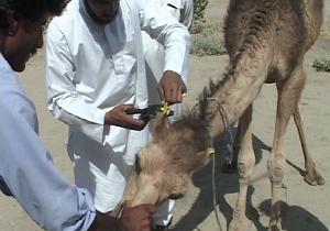 اجرای طرح پلاک کوبی شتر در سیستان و بلوچستان