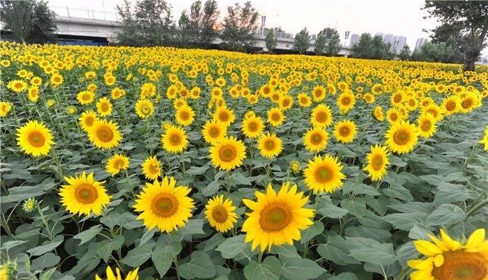آذربایجان غربی قطب تولید آفتابگردان در کشور
