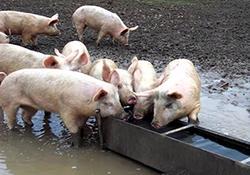 چرا گوشت خوک حرام است؟ + فیلم