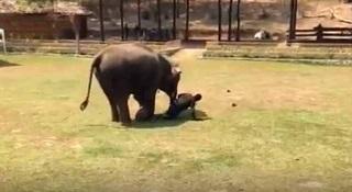 فیل دلسوز به کمک مربیاش شتافت+ فیلم