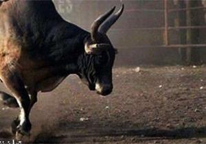 برخورد شدید گاو وحشی به دیوار حین دویدن به دنبال مردم + فیلم