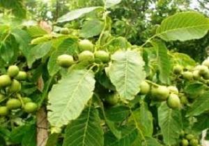 تویسرکان استان همدان قطب تولید گردو در کشور
