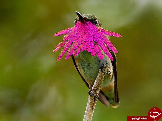 دیدن این پرندگان زیبا را از دست ندهید+تصاویر