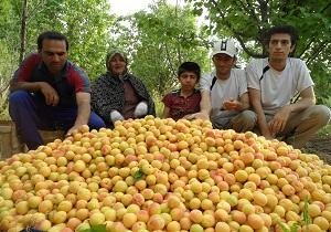 بیش از ۴۰۰۰ تن زردآلو از باغهای نهاوند برداشت شد