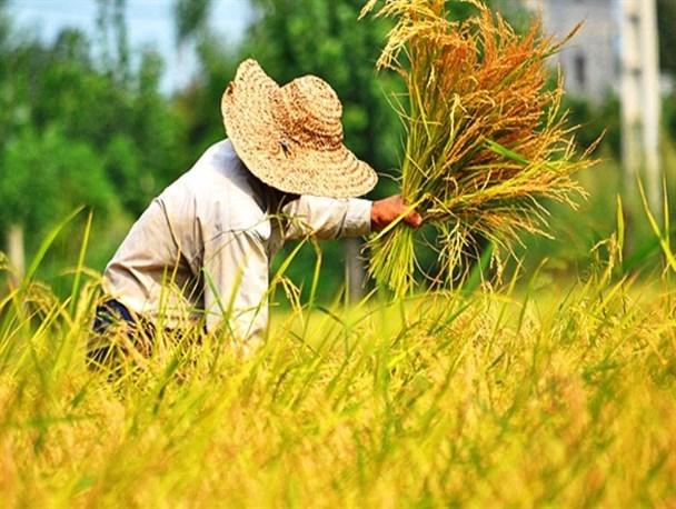 خرید ۱۵ هزار تن گندم و ۱۲۰۰ تن کلزا در کردستان