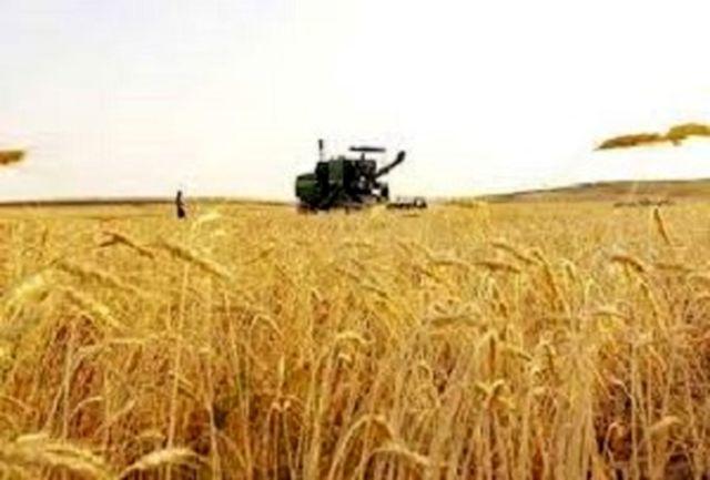 آغاز برداشت جو در مزارع در کبودراهنگ