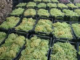 افزایش تولید انگور در شهرستان ایوان