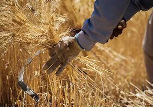 گندم تولیدی درحال خروج از مرزهای کشور/پای دلالان به خرید تضمینی گندم باز شد