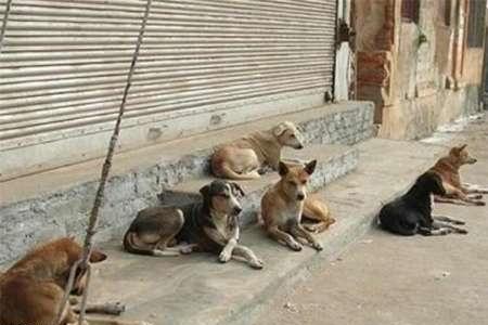 حمله سگهای بدون صاحب به شهروندان سیرجانی