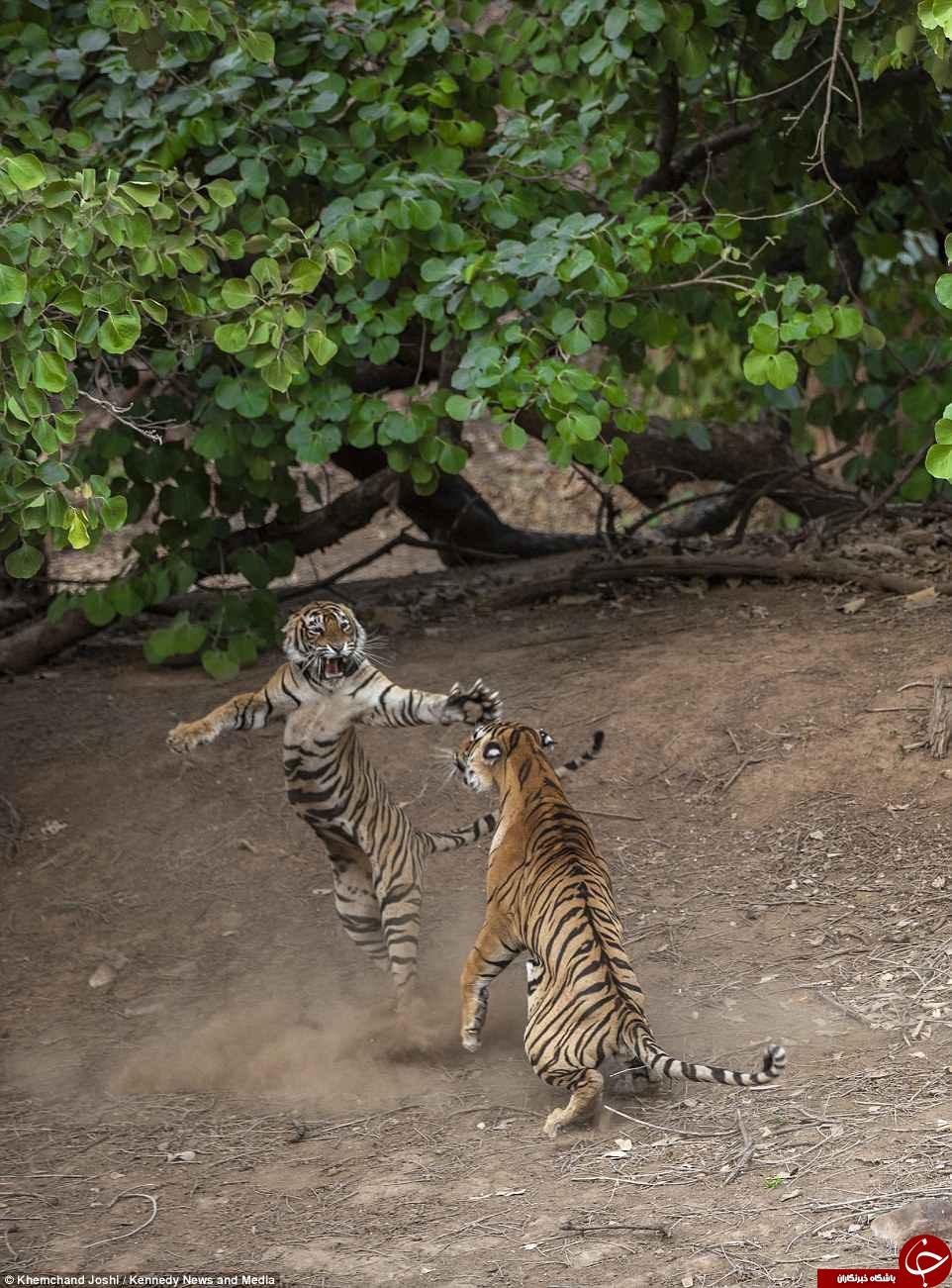 تصاویری شگفت انگیز از جنگ دو ببر نر و ماده در پارک جنگلی هند +تصاویر
