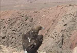برگشت عقاب طلایی به طبیعت آرادان