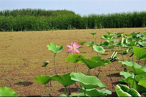 پدیده پرغذایی در تالاب انزلی باعث نابودی گونه های گیاهی شده است/متنوع ترین اکوسیستم ها در اکوسیستم تالاب ها است