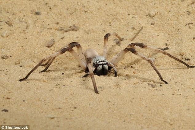 لحظه وحشتناک شکار برقآسای یک عنکبوت +فیلم