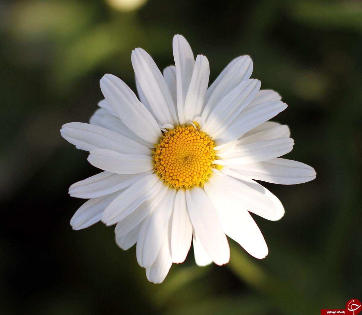 همه چیز درباره جادوگری به نام؛ گل مینا / تا بحال برای بهبود آلرژیهای پوستیتان گل مینا را امتحان کرده اید؟!
