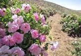 گلهایی که بوی آن نوازشگر اقتصاد کشور است