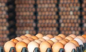 تولید حدود ۱۰ درصد تخم مرغ کشور در حراسان رضوی