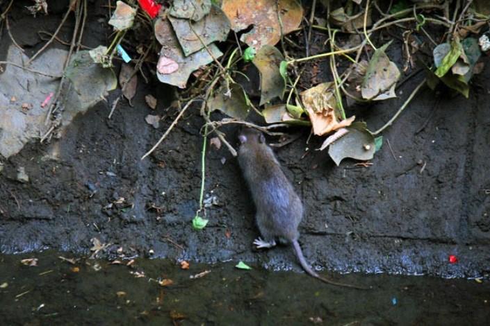 جولان میلیونها موش در معابر و کانالهای پایتخت! + فیلم
