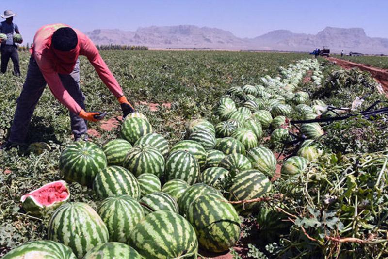 در هر هکتار بیش از 35 تن هندوانه در تایباد برداشت شد