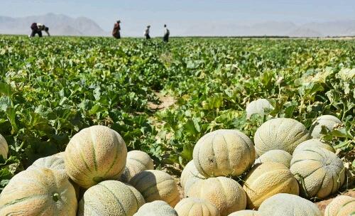 برداشت طالبی از سطح ۵۰۰ هکتار از اراضی شهرستان کاشمر