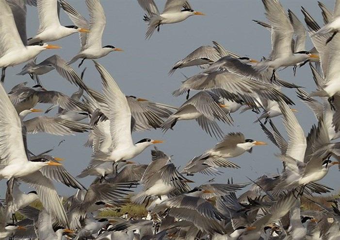 اجرا عملیات پایش وآماربرداری از پرندگان جوجه آور تابستان