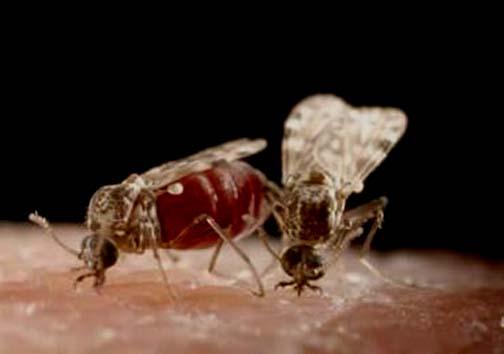 مرگ و میر ۷۰ درصد دامها از طریق ویروس زبان آبی