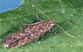 شکار پروانه شب پره با استفاده از ۲ هزار و ۲۵۰ تلههای فرمونی