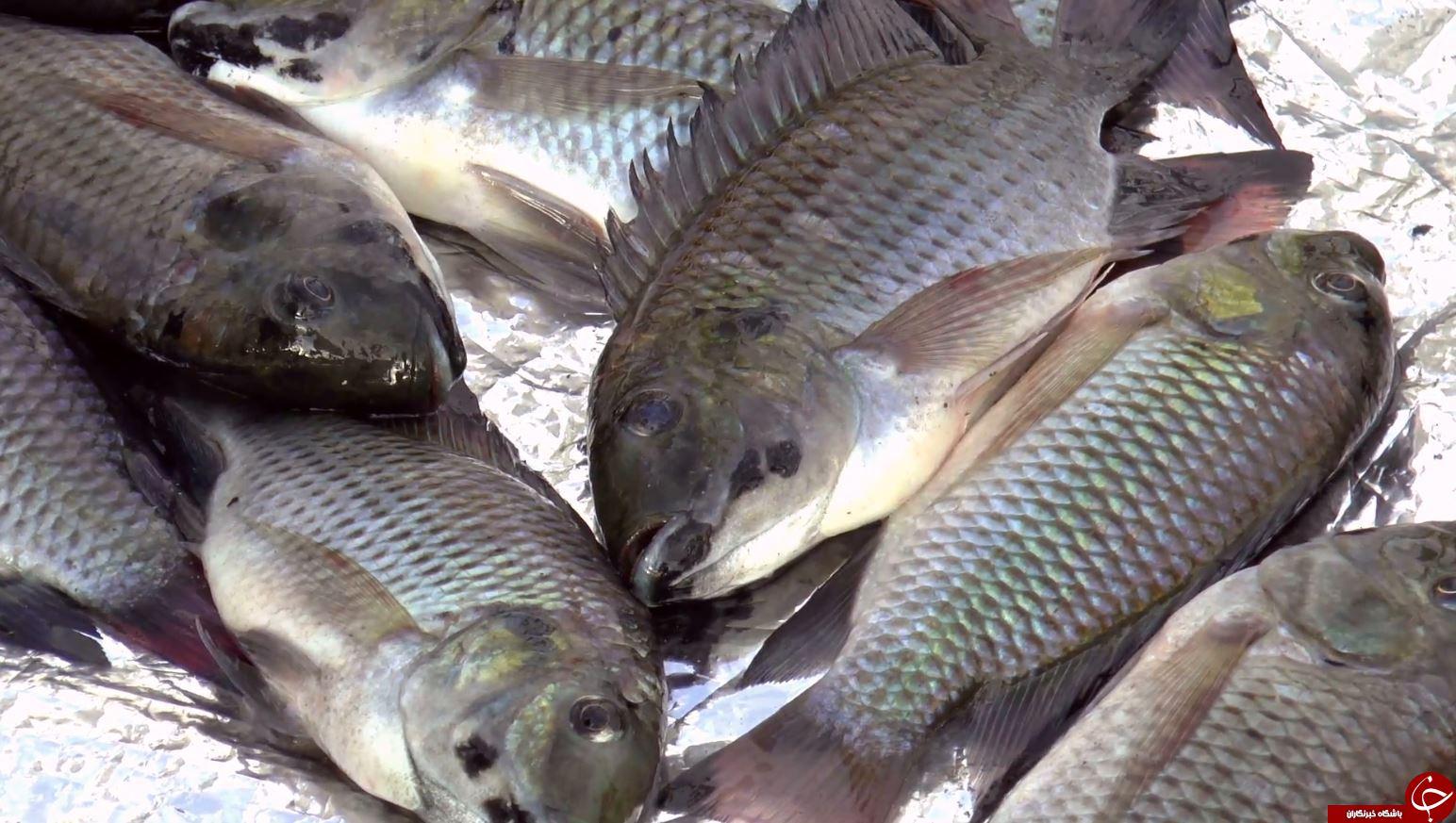 دستورالعملهای خرید یک ماهی تازه