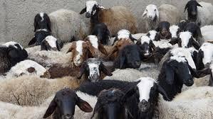 169 راس گوسفند قاچاق دراتوبان زنجان – قزوین کشف وضبط شد