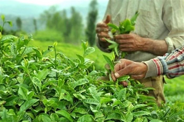 عرضه چای خشک در بورس کالا یک راه برای حمایت از تولید داخل