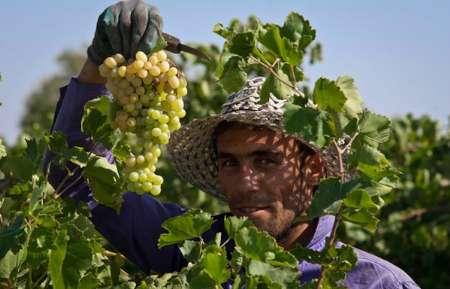 برداشت 320 تن انگور در شهرستان دره شهر