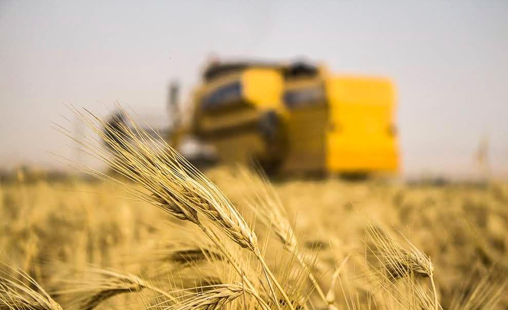 افزایش ۲ برابری تولید و خرید گندم در همدان
