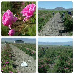 برداشت ۱۱۰ تن گل محمدی از سطح مزارع بخش رخ
