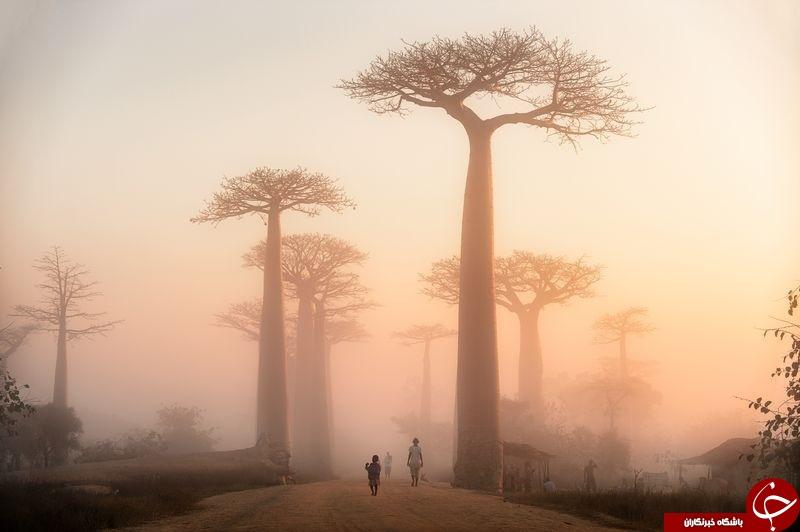 طلوع از میان درختان بائوباب در عکس روز نشنال جئوگرافیک