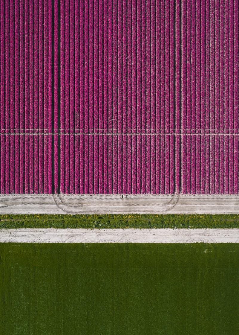 تصاویر هوایی بی نظیر از مزارع گل لاله