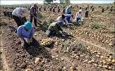 باشگاه خبرنگاران -پرداخت ۶۰ درصد مطالبات سیب زمینی کاران