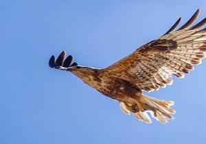 یک بهله پرنده شکاری سارگپه در طبیعت خوی رهاسازی گردید