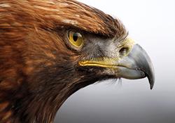 شکار دختربچه توسط عقاب + فیلم