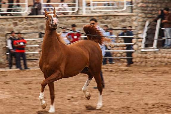 باشگاه خبرنگاران -میزبانی از 80راس اسب از 10 استان کشودر درجشنواره اسب اصیل عرب