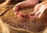 باشگاه خبرنگاران -افزایش میزان تولید بذر غلات در خراسان شمالی